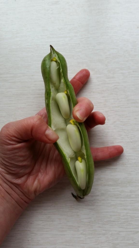 einsichten ineine Bohnenschote